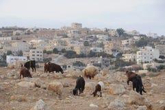 Pâturage de moutons et de chèvres Image libre de droits