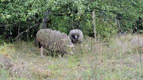 Pâturage de moutons Le troupeau des moutons frôle sur un champ vert Troupeau en gros plan de moutons mangeant l'herbe près des ar banque de vidéos