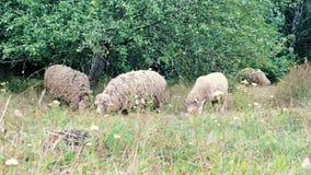 Pâturage de moutons Le troupeau des moutons frôle sur un champ vert Troupeau en gros plan de moutons mangeant l'herbe près des ar clips vidéos