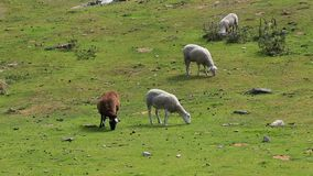 Pâturage de moutons banque de vidéos
