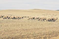 Pâturage de moutons mérinos Photographie stock