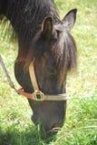 Pâturage de poney Photographie stock libre de droits