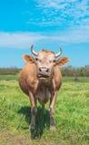 Pâturage de ressort et vache laitière curieuse Photos stock