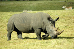 Pâturage de rhinocéros Image stock