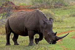 Pâturage de rhinocéros Photographie stock