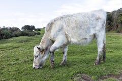Pâturage de saule de vache à veau Image libre de droits