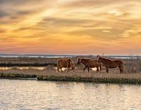 Pâturage de trois chevaux Photos libres de droits