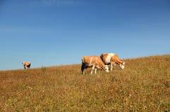 Pâturage de trois vaches Photos libres de droits