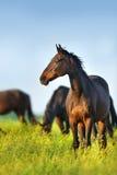 Pâturage de troupeau de cheval images libres de droits
