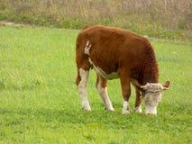 Pâturage de vache Images libres de droits