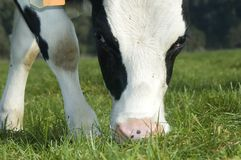 Pâturage de vache Photographie stock libre de droits
