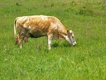 Pâturage de vache Photos libres de droits