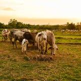 Pâturage de vache Photo libre de droits