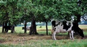 Pâturage de vache Photo stock