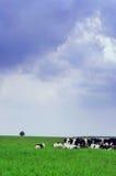 Pâturage de vache dans le pré Photos libres de droits