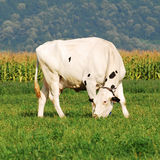 Pâturage de vache du Holstein Photographie stock