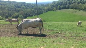 Pâturage de vaches banque de vidéos