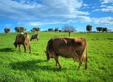 Pâturage de vaches. Image stock