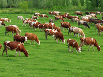 Pâturage de vaches Photographie stock