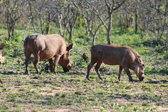 Pâturage de Warthog Photos stock
