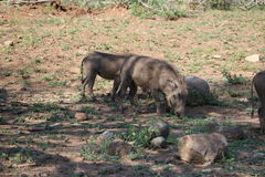 Pâturage de Warthog Photo libre de droits