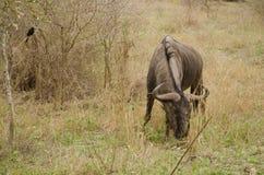 Pâturage de Wildebeest image stock