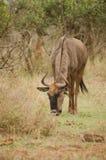 Pâturage de Wildebeest photographie stock