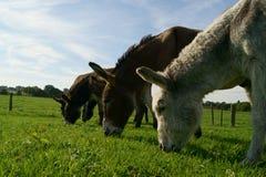 Pâturage des ânes Photographie stock