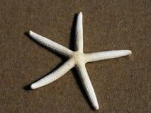 Pâturage des étoiles de mer Images stock
