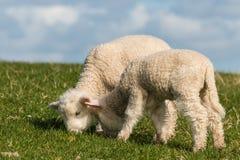 Pâturage des agneaux nouveau-nés Images stock