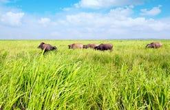Pâturage des bétail Images libres de droits
