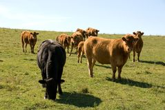 Pâturage des bétail Photographie stock
