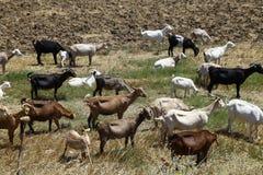 Pâturage des chèvres Photos libres de droits