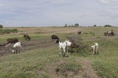 Pâturage des chèvres Photographie stock