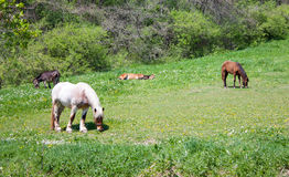 Pâturage des chevaux Images stock