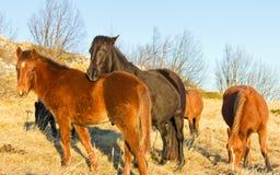 Pâturage des chevaux dans la montagne Photo libre de droits