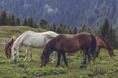 pâturage des chevaux de troupeau Photo stock