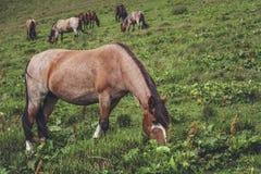 pâturage des chevaux de troupeau Photos libres de droits