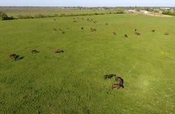 Pâturage des chevaux sur la zone Chevaux de tir de quadrocopter Pâturage pour des chevaux Image stock
