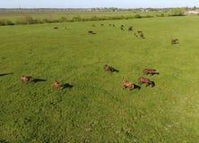 Pâturage des chevaux sur la zone Chevaux de tir de quadrocopter Pâturage pour des chevaux Image libre de droits