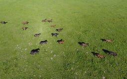 Pâturage des chevaux sur la zone Chevaux de tir de quadrocopter Pâturage pour des chevaux Photo stock