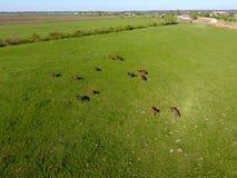 Pâturage des chevaux sur la zone Chevaux de tir de quadrocopter Pâturage pour des chevaux Photographie stock
