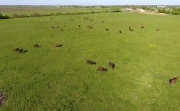 Pâturage des chevaux sur la zone Chevaux de tir de quadrocopter Pâturage pour des chevaux Photos libres de droits
