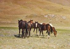 Pâturage des chevaux, vallée d'Alay images libres de droits