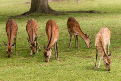 Pâturage des hinds de cerfs communs de sika Photographie stock