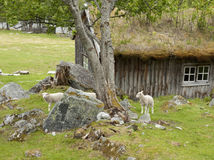 Pâturage des moutons Photo stock