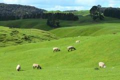 Pâturage des moutons photographie stock libre de droits