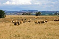 Pâturage des moutons Photo libre de droits