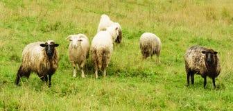 Pâturage des moutons Photos libres de droits