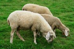 Pâturage des moutons Photos stock